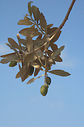 Israel, Galilee, close up of the fruit and leaves of an Olive tree