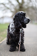 Henry, my 9-month-old cocker spaniel stopping to look around in the park.