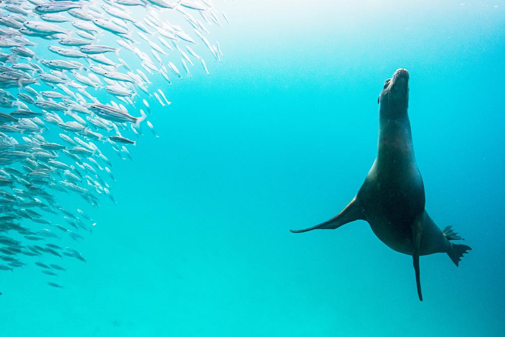 Galapagos Sea Lion (Zalophus wollebaeki) hunting Black Striped Salemas (Xenocys jessiae), Rabida Island, Galapagos, Ecuador.