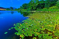 Water lillies, Long Pond, Acadia National Park, Mount Desert Island, Maine, USA