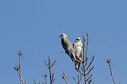 Black-winged Kite (Elanus caeruleus) 2 on treetop, hulla valley, israel