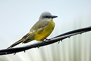 Tropical Kingbird (Tyrannus couchii) at Crooked Tree.