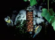 Blue tits at bird feeder (Parus caeruleus) - one in flight, garden birds.