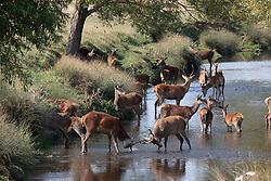 © Licensed to London News Pictures. 16/09/2020. London, UK. After almost 7 days of high temperatures for mid-September, it was all too much for this herd of deer and rutting stags as they cooled off and frolicked in the Beverley Brook in Richmond Park in South West London as temperatures hit 27c today. Photo credit: Alex Lentati/LNP