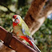 Parrot in Kangaroo Island.