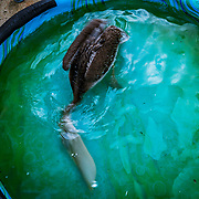 Pelican plays and feeds at the Manatee Conservation Center in Puerto Rico.