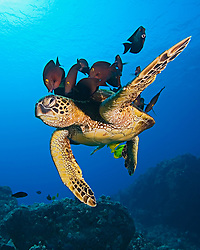 Woman Scuba Diver and Endangered species, Green Sea Turtle, Chelonia mydas, being cleaned by Gold-ring Surgeonfish, Ctenochaetus strigosus, (endemic to Hawaii), and Yellow Tang, Zebrasoma flavescens, off Kona Coast, Big Island, Hawaii, Pacific Ocean
