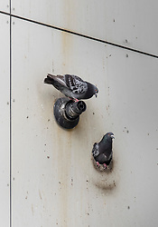 © Licensed to London News Pictures. 27/06/2017. London, UK. A pigeon nests in a hole in the cladding on the Bray tower block on the Chalcots Estate in Camden. More than 700 flats in tower blocks on the estate in the Swiss Cottage area of north-west London are being evacuated because of fire safety concerns after the Grenfell Tower fire of on June 14. Photo credit: Peter Macdiarmid/LNP
