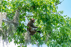 Wild Rhesus Macaque sitting in a tree on the Silver River in Ocala Florida.