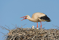 White stork (Ciconia ciconia) adult at nest feeding on cockchafer. Lithuania, May 2009. Mission: Lithuania