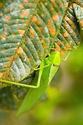 Katydid, Mashpi reserve, Ecuador, South America