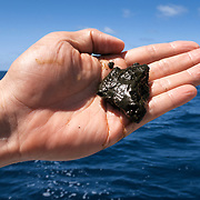 This is a portion of defecation from a humpback whale calf (Megaptera novaeangliae australis). Defecation like this from calves contributes to the cycling of nutrients from nutrient-rich high latitudes to less nutrient-abundant lower latitudes. This calf's mother fed primarily in and around Antarctica. She then provided milk to her calf in the relatively warm waters of Tonga, leading eventually to this defecation, thus transporting nutrients from the waters of Antartica to those of Tonga. The defecation smelled remarkably like one would expect poop to smell like.