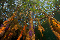 Sponges, tuncates, and other invertebrate life growing on the roots of Red Mangrove trees in the Belize Cays.