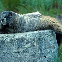 North America, USA, Washington.  Marmot of the Pacific Northwest.
