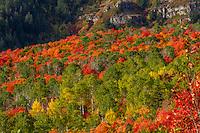 A variety of Utah Fall colors along Utah's Alpine Loop and the backside of Mt. Timpanogos.