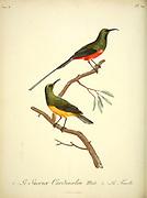 Sucrier cardinalin from the Book Histoire naturelle des oiseaux d'Afrique [Natural History of birds of Africa] Volume 6, by Le Vaillant, Francois, 1753-1824; Publish in Paris by Chez J.J. Fuchs, libraire 1808