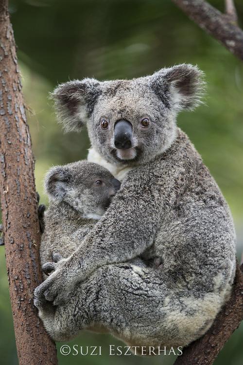 Koala <br /> Phascolarctos cinereus<br /> Mother and ten-month-old joey<br /> Queensland, Australia<br /> *Captive