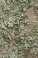 Common beech (Fagus sylvatica) bark detail with lichens and moth, Basilicata/Calabria, Pollino National Park, Italy. November 2008. Mission: Pollino National Park