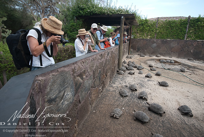 Juvinile Giant Tortoises (Geochelone elephantopus) are being photographed by Natural Exposures Tour guests inside the Isabela breeding center. Galapagos, Ecuador.