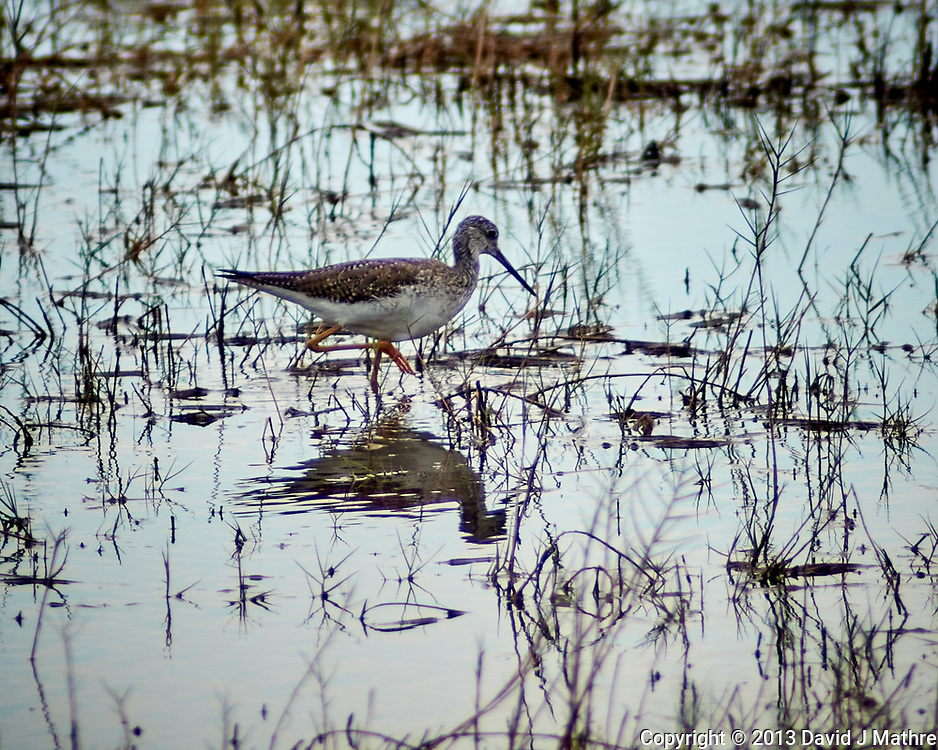 Greater Yellowlegs. Black Point Drive, Merritt Island National Wildlife Refuge. Image taken with a Nikon 1V2 camera and 180 mm f/2.8 lens (ISO 160, 180 mm, f'2.8, 1/500 sec).