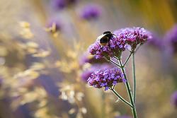 Bee on Verbena bonariensis with Stipa gigantea