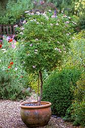 Pelargonium graveolens grown as a standard in a terracotta pot at Hollington Herb nursery, Berkshire<br /> Rose geranium, Sweet scented geranium