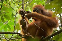 Adult female Walimah with one month old infant.<br />Feeding on termites in dead wood pieces, with baby looking on closely and reaching out to investigate what mom is doing.<br /><br />Bornean Orangutan <br />Wurmbii Sub-species<br />(Pongo pygmaeus wurmbii)<br /><br />Gunung Palung Orangutan Project<br />Cabang Panti Research Station<br />Gunung Palung National Park<br />West Kalimantan Province<br />Island of Borneo<br />Indonesia