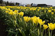 Yellow tulip flowers bloom in the Skagit River Delta, Washington, USA.
