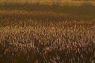 Backlit reeds, Phragmites australis, winter, Norfolk UK