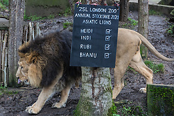 London, UK. 2 January, 2020. Bhanu, a male Asiatic lion appears during the annual stocktake at ZSL London Zoo. Every mammal, bird, reptile, fish and invertebrate is counted - a total of more than 500 different species - as part of an almost week-long audit required by the Zoo's licence, with the information recorded then shared with other zoos via the Species360 database.