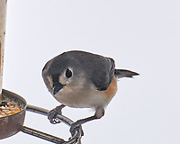 Tufted Titmouse (Baeolophus bicolor). Image taken with a Leica SL2 camera and 90-280 mm lens.