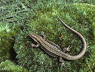 Common Lizard Lacerta vivipara Length 10-15cm Widespread legged lizard. Fond of sunbathing. Hibernates Oct-April. Gives birth to live young. Adult has rather slender body with angular, pointed snout. Ground colour is variable but brown is usual. From above, note vertebral row of dark spots or patches, and parallel rows of dark markings on flanks, bordered above by pale spots. Some have green or reddish flush to head. Mature male has bright yellow or orange underparts studded with dark spots. Juvenile resembles a miniature adult but with relatively much shorter tail; uniformly black for first few weeks of life. Has declined markedly. Still very locally common in open habitats, notably heathland.