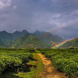 Vietnam - Mu Cang Chai Tea Plantations near Mu Cang Chai (North Vietnam)