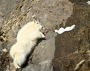"""A """"Billie"""" Mountain Goat leaps up to its next outcropping of cliff"""