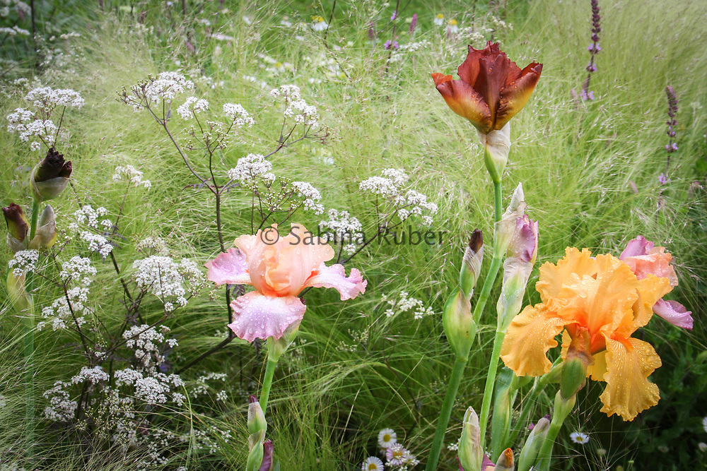 Irises and Anthriscus sylvestris 'Ravenswing' - cow parsley, growing through Stipa tenuissima - Mexican feather grass