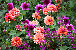 Dahlia 'American Dawn' and  Dahlia 'Blue Bayou' with Cleome