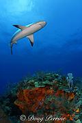 Caribbean reef shark, Carcharinus perezi, on coral reef with orange elephant ear sponges, Agelas clathrodes, Bahamas ( Western Atlantic Ocean )