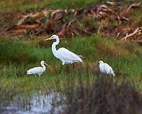White Ibis (Eudocimus albus), Great Egret (Ardea alba), and Snowy Egret (Egretta thula). Image taken with a Nikon D4 camera and 500 mm f/4 VR lens.