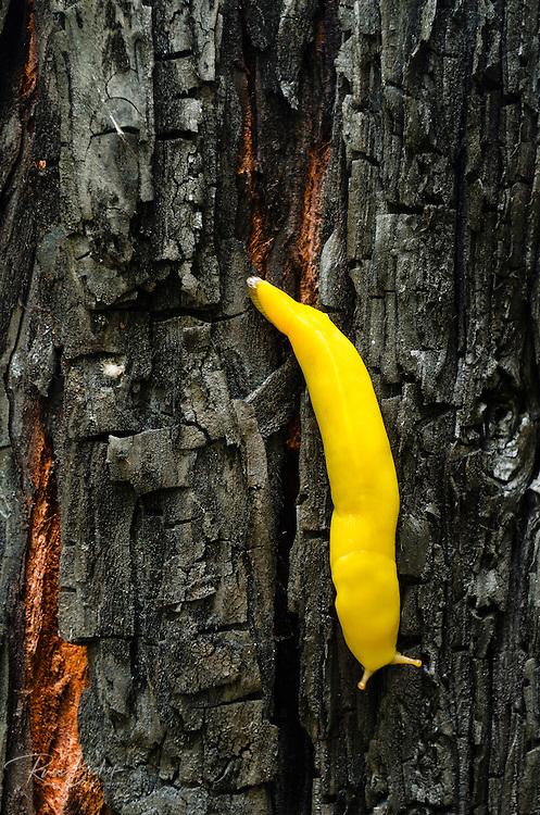 Banana slug, Lime Kiln State Park, Big Sur, California USA