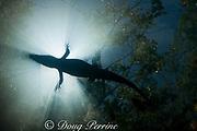 silhouette of Morelet's crocodile, Central American crocodile, Mexican crocodiles, or Belize crocodile, Crocodylus moreletii,  resting at surface of cenote ( freshwater spring ) near Tulum, Yucatan Peninsula, Mexico