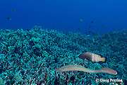 a whitemouth moray eel, or puhi onio, Gymnothorax meleagris, swims across the coral reef on a hunting foray, while its hunting partner, a peacock grouper or roi, Cephalopholis argus, follows the eel to block the escape of any small fish that the eel flushes out from the reef; Puako, Kona, Hawaii ( Central Pacific Ocean )