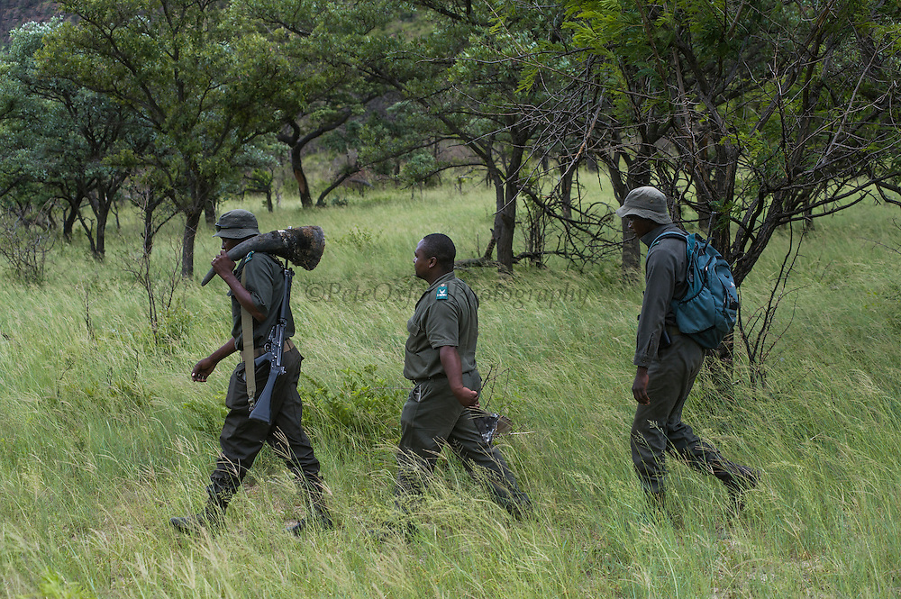 SanParks rangers with White rhinoceros horns (Ceratotherium simum)<br /> , <br /> SOUTH AFRICA<br /> RANGE: Southern & East Africa<br /> ENDANGERED SPECIES