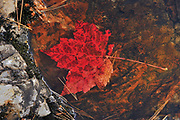 Red maple leaf (Acer rubrum) at Hatchery Falls in autumn, Near Rosseau, Ontario, Canada