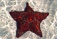 Reticulated Sea Star (Oreaster reticulatus) Little Cayman