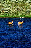 Deer, Madison River, Yellowstone National Park, Wyoming USA