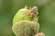 Female acorn weevil (Curculio glandium) , The Biosphere Reserve 'Niedersächsische Elbtalaue' (Lower Saxonian Elbe Valley), Germany | Das Weibchen des Gewöhnlichen Eichelbohrers (Curculio glandium) versenkt beim Bohren des Eiablage-Lochs fast den gesamten Rüssel in der Eichel. Die Antennen werden dabei nach hinten angelegt, und die Krallen an den Fußspitzen sorgen für sicheren Halt auf der glatten Frucht. Tief im Kern wird der Käfer ein bis mehrere Eier ablegen, aus denen nach etwa zwei Wochen Entwicklungszeit die Larven schlüpfen.