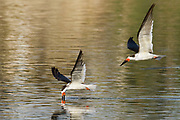 """Pair of Black Skimmers in flight with one """"skimming"""", putting it's jaw on the water as it flys to try and snag a fish.(Rynchops niger) Back Bay Reserve, California."""