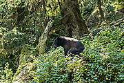 An adult American black bear sow sits in the temperate rain forest at Anan Creek in the Tongass National Forest, Alaska. Anan Creek is one of the most prolific salmon runs in Alaska and dozens of black and brown bears gather yearly to feast on the spawning salmon.