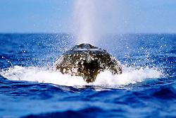 humpback whale lunging, Megaptera novaeangliae, Hawaii, Pacific Ocean