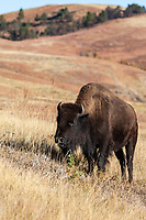 Bison (Bison bison) freely roam through the rolling hills of Custer State Park, South Dakota.